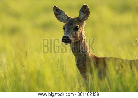 Close-up Of An Interested Roe Deer Doe Observing With Interest On Meadow