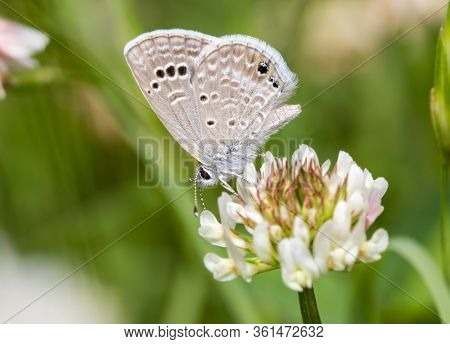 Tiny Reakirt's Blue butterfly sipping nectar from a white Clover flower
