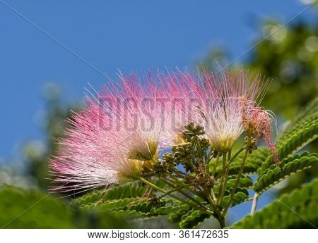 Bright pink Persian Silk Tree blooms against blue sky