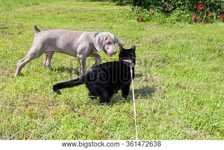 Weimaraner puppy and a black cat in harness getting acquainted