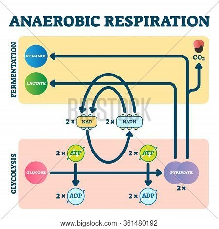 Anaerobic Respiration Vector Illustration. Glycolysis And Fermentation Scheme As Electron Transport