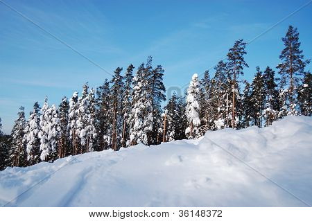 Beautiful winter fir-tree forest