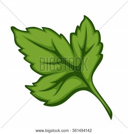 Parsley Or Cilantro Herb Leaf For Cooking Meals