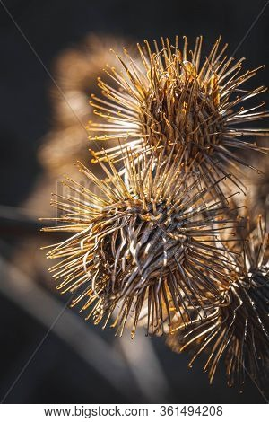 Detail Of Dry Thistle Plant Captured On Golden Hour