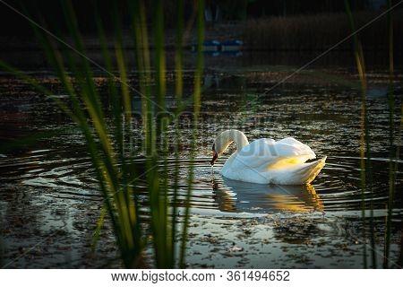 Swan Bird Morning Routine On The Lake