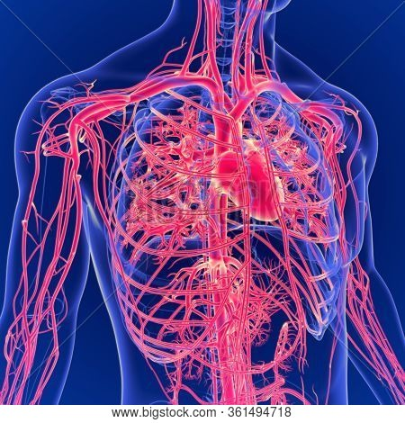 Human Heart Is An Organ That Pumps Blood Throughout The Body Via The Circulatory System