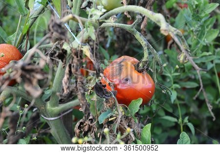 The Fungus Buckeye Rot Of Tomato Caused By The Pathogen Phytophthora Parasitica Badly Affected A Tom