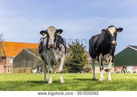 Gaasterland, Netherlands - April 07, 2020: Holstein Cows At A Farm In Gaasterland, Netherlands