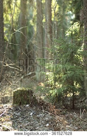 Beautiful green summer forest. Cut trees trunk. Felled trees in the woods. Fir branch close up. Sun shine through the fir branch. Walk in summer forest. Road in the mystique forest