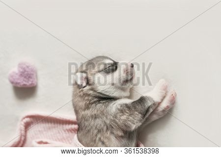 Newborn Siberian Husky Puppy Age Of 1 Days. Husky Dog Breeding. Concept Of Veterinary Medicine, Zoo