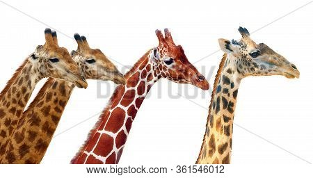 South African Giraffe (g. C. Giraffa) And Reticulated Giraffe (g. C. Reticulata) And Thornicroft's G