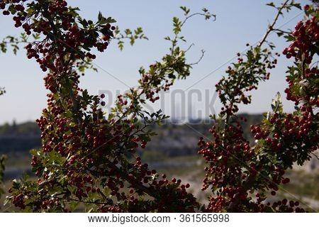 A Bush With Lots Of Red Berries Grows Next To The Protected Area Called Kalkbrottet In Malmö, Sweden