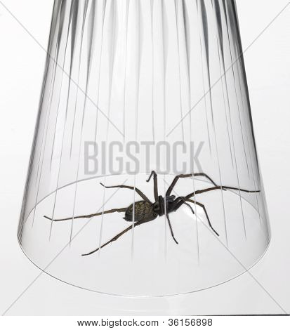 studio photography of a spider caught with a drinking glass in white back poster