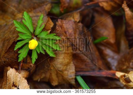 Creeping Buttercup Flower, Ranunculus Repens. Tellow Forest Flower On A Brown Leaves Background.