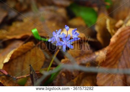 Gentian-blue Squill Flower With A Forest Ground Backdrop.