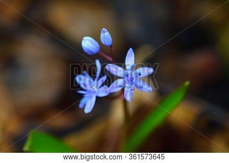 Wild Gentian-blue Scilla Flower On A Dark Background.