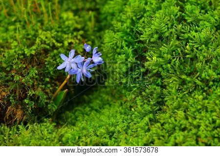 Wild Scilla Flower With Vibrant Moss Microgreens On A Background. Gentian-blue On A Green Color.
