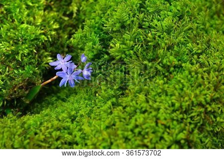 Wild Squill Flower With Vibrant Moss Microgreens On A Background. Gentian-blue On A Green Color. Cop