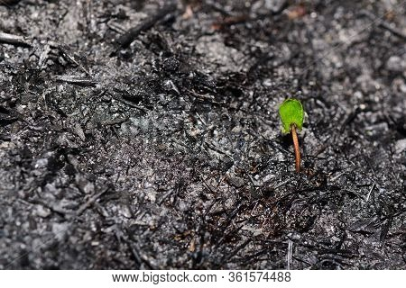 Sprout Rises Over Burnt Ground. Grass Ash After Arson. Recovery After Massive Crysis. Future Resurre