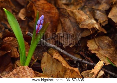 Beautiful Scilla Flower On A Brown Leaves Background. Violet To Gentian-blue Gradient. Copy Space On