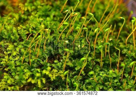 Forest Moss Close-up. Bright Micro Greens Macro.