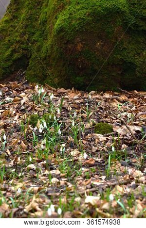 Flowers Of Snowdrop Or Galanthus With The Bottom Of Moss Covered Tree. Early Spring Forest Nature. V