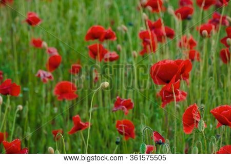 Red Poppy Flower Field. Beautiful Nature Scenery In Summer Afternoon