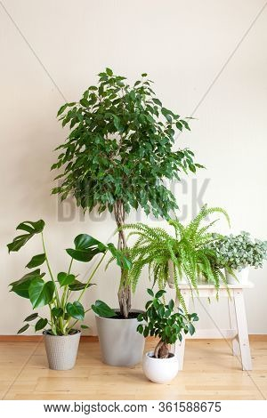 houseplants ficus benjamina, fittonia, monstera, nephrolepis and ficus microcarpa ginseng in flowerpots
