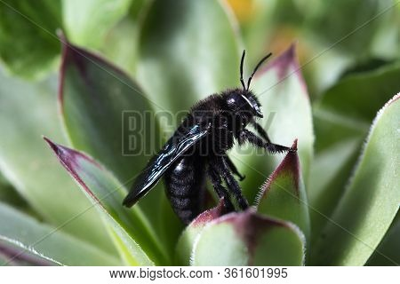 Violet Carpenter Bee, Xylocopa Violacea On The Green  Plant