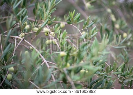 Olive trees garden. Mediterranean farm ready for harvest. Italian olive's grove with fresh green olives. Branch with ripe fruit