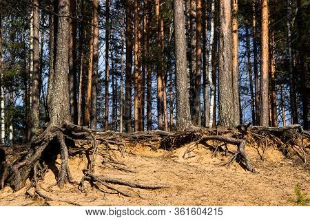 Pine Forest Background. Pine Tree Roots, Close Up. Nature Concept. Pine With A Bare Root System In A
