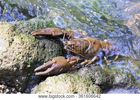 Noble Crayfish  ( Astacus Astacus ) On A Stone In Natural Habitat; This Is A Protected Vulnerable Sp