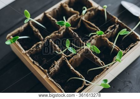 A Wooden Container With Cucumber Seedlings. Close-up Of Cucumber Seed Seedlings. Miniature Garden Eq