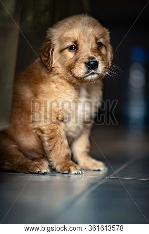 Portrait of a nice little puppy of a golden retriever, cute doggy sitting on the floor at home, dog is a best friend for people, great gift for kids