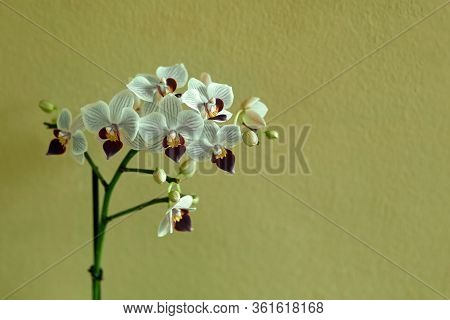 White Phalaenopsis Orchid Plant In Front Of Green Wall