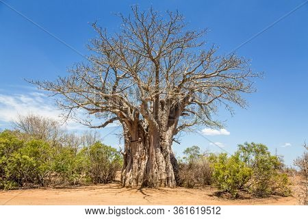 Giant African Baobab, Adansonia digitata.  tree in Kruger National Park, South Africa.
