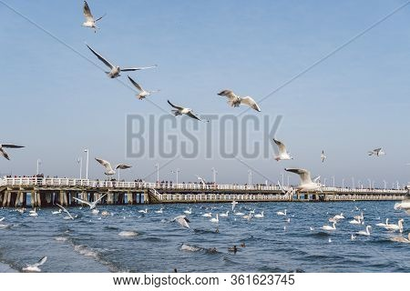 Swans And Seagulls On The Coast In The Baltic Sea In Winter, Spot City Poland. Hungry Wild Gulls And