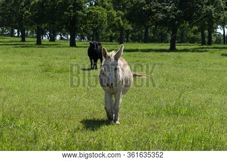 A Cute Tan And Light Brown Donkey Walking Across A Ranch Meadow Full Of Green Grass With Its Long Ea