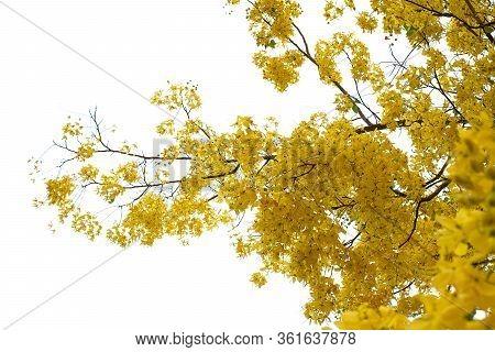 Golden Shower (cassia Fistula), National Tree Of Thailand