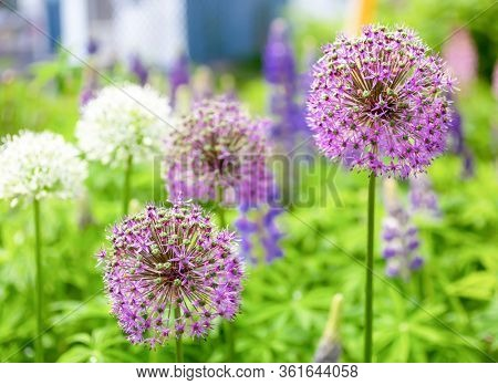 Alliums blooming in a North American perennial garden.