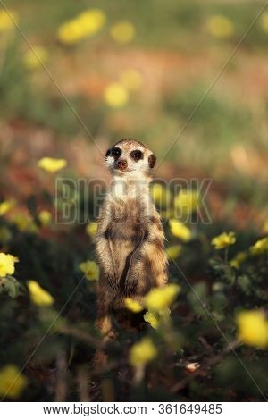 The Meerkat Or Suricate (suricata Suricatta) Is Watching In Typical Position In Blooming Desert With