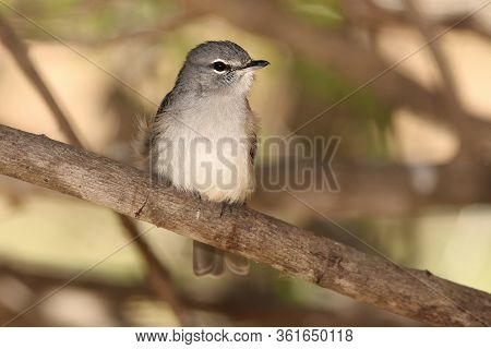 African Dusky Flycatcher (muscicapa Adusta)  Is Sitting On The Branch