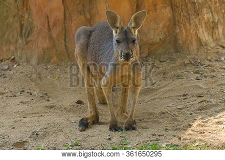 Big Red Kangaroo (macropus Rufus) Close Up