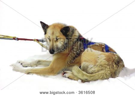 A sled dog resisting the pull to go to work and pull the sled. poster