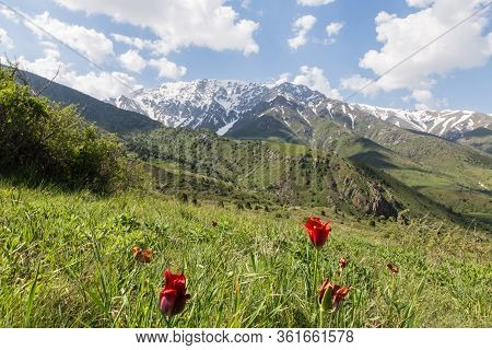 Aksu Zhabagly Nature Reserve With Rare Endemic Red Book Tulips, Oldest In Central Asia, Situated In