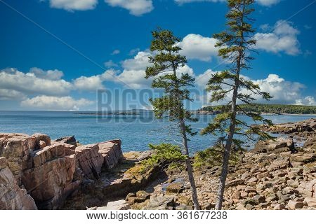Two Pine Trees Growing In Rocky Beach Of Acadia National Forest Near Bar Harbor, Maine