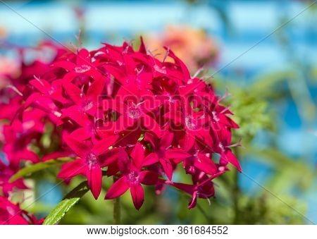 Star shaped, bright pink Pentas flowers in summer sun