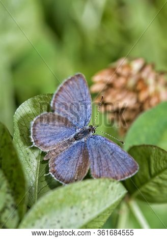 Dorsal view of a tiny, male Eastern tailed-blue butterfly resting on its host plant, clover