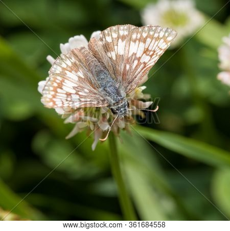 Commen Checkered Skipper butterfly feeding on a white clover flower