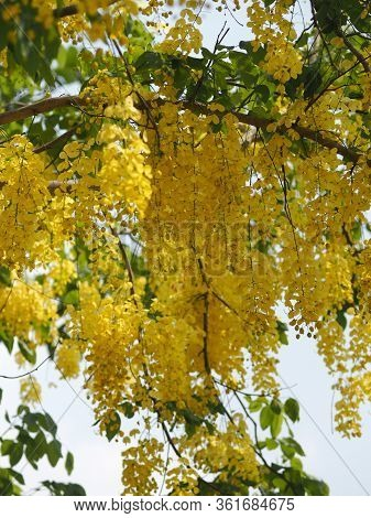 Yellow Color Flowers Cassia Fistula, Golden Shower Tree, Ratchaphruek Full Blooming Beautiful In Gar